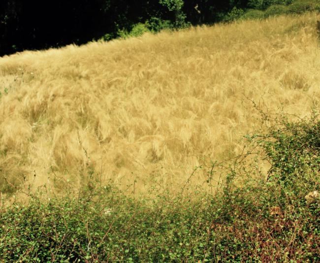 photo-prairie-stipa-tenuifolia-et-muehlenbeckia-page-approchephoto-prairie-stipa-et-muehlenbeckia
