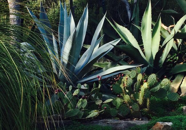photo-agava-americana-bleue-et-verte-avec-figiuer-barbarie-page-conception