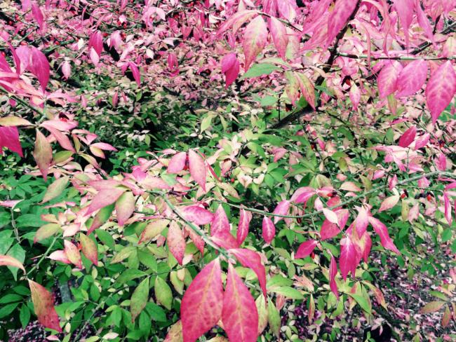 photo-arbuste-au-feuillage-rose-et-vert-page-approche