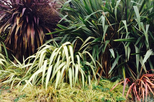 photo-phormiums-tenax-atropurpureum-variegata-et-graminees-miscanthus-page-conception